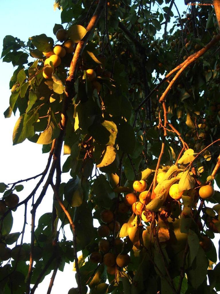 Persimmons_unripe-in-the-sun03kcwwwp