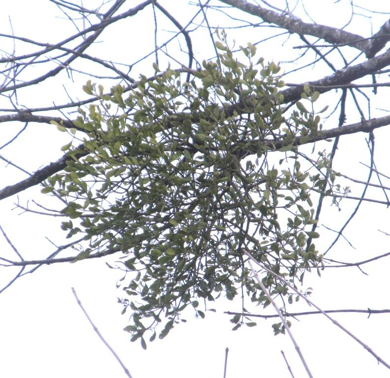 Mistletoe01p